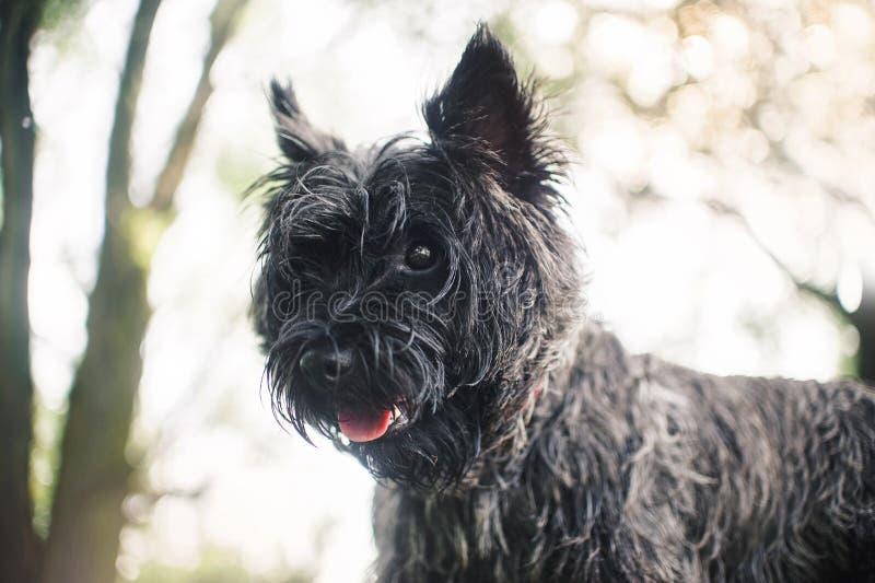 Kopa Terrier pies, portret zamknięty zdjęcia royalty free