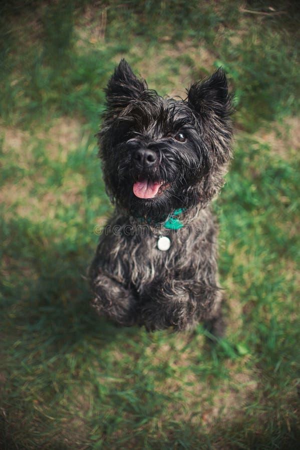 Kopa Terrier pies, portret zamknięty zdjęcie stock