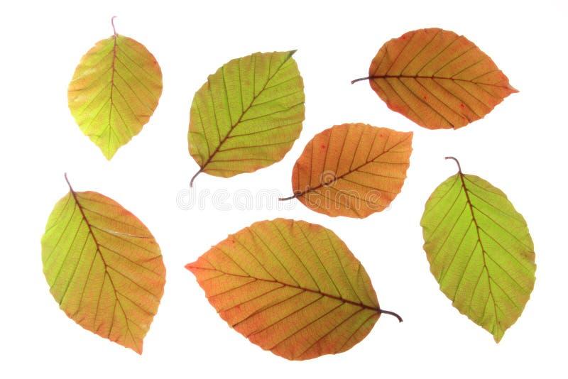 Koperbeuk (Fagus-sylvaticaf. purpurea) stock afbeeldingen