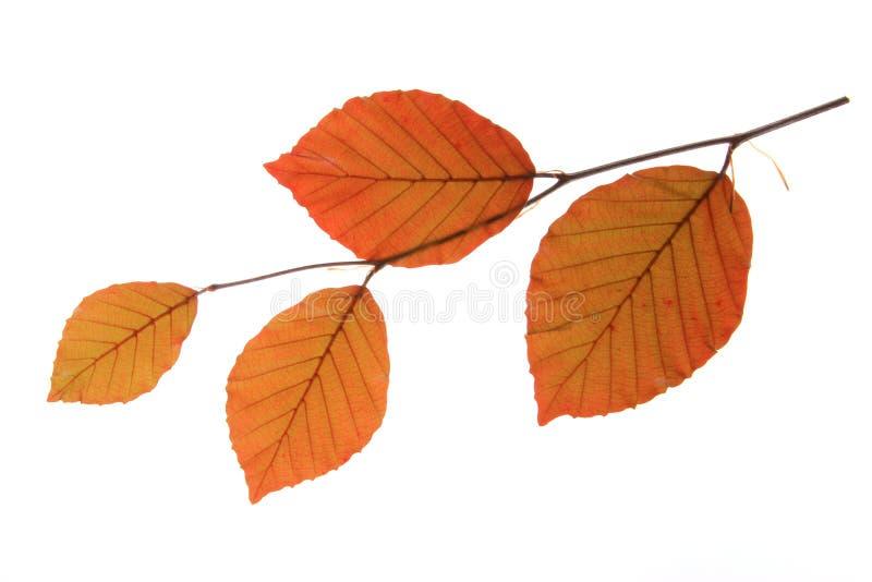 Koperbeuk (Fagus-sylvaticaf purpurea) royalty-vrije stock afbeeldingen