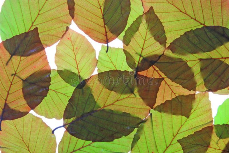 Koperbeuk (Fagus-sylvaticapurpurea) stock afbeelding