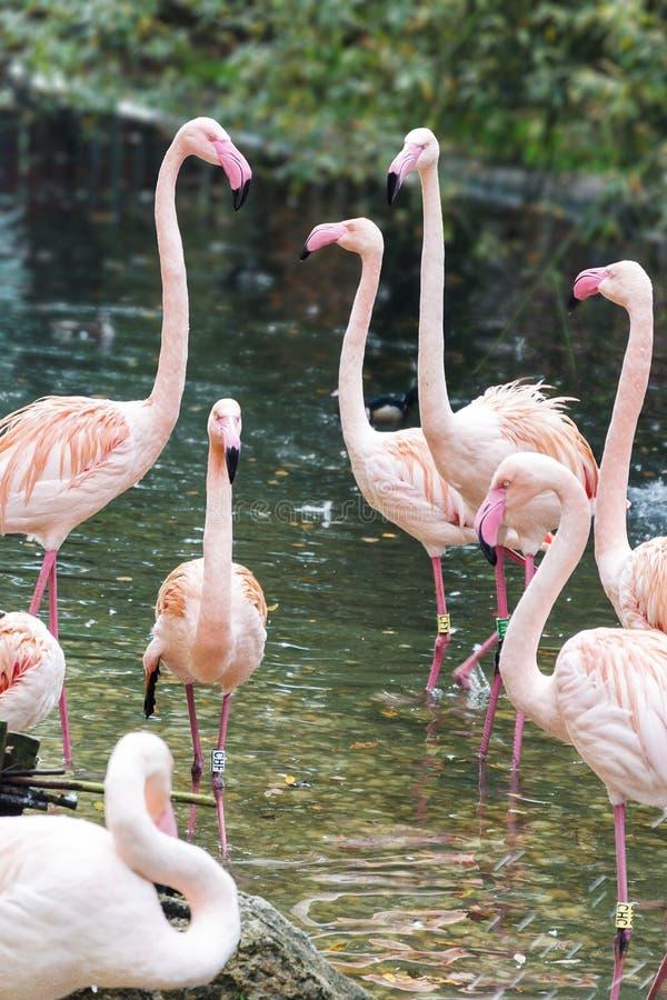 Koperczaków flamingi zdjęcia royalty free