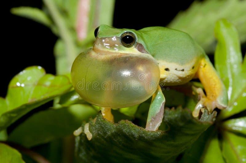 koperczaki żaby wiosna drzewo obraz stock