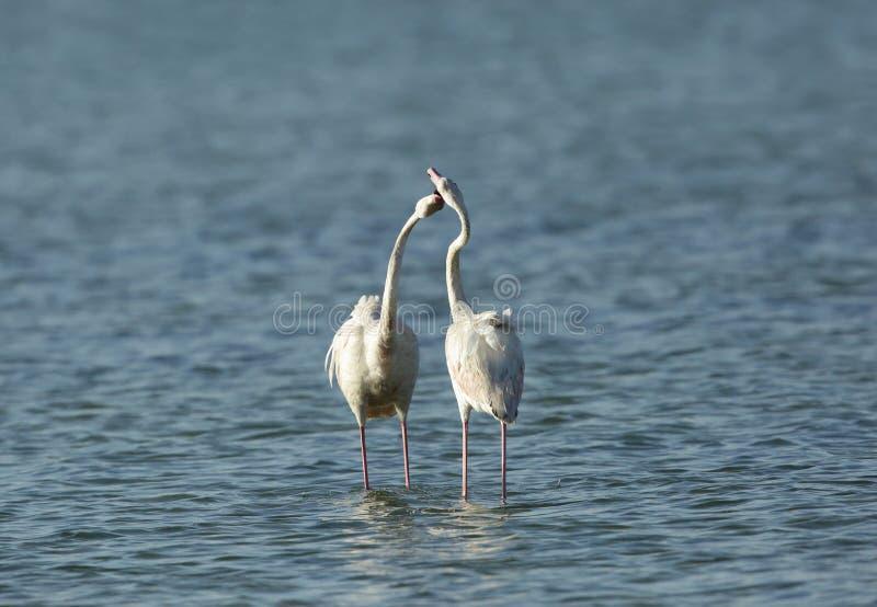 Koperczaki wielcy flamingi obraz stock