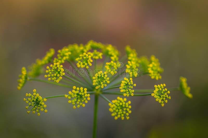 Koperu kwiat obrazy royalty free