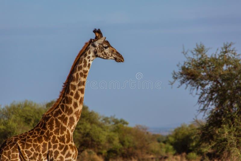 Kopf der affrican Giraffe lizenzfreies stockbild