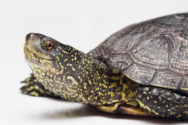 Download Kopf Der Europäischen Teichschildkröte Stockbild - Bild von mann, tier: 27726047
