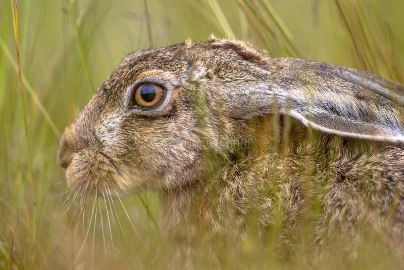 Kopf der Feldhase versteckend in der Vegetation lizenzfreie stockbilder