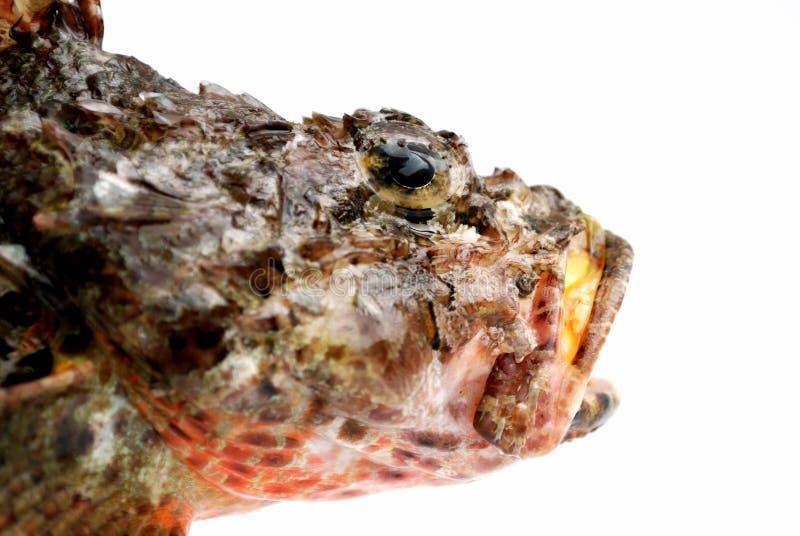 Kopf der frischen Steinstangefische lizenzfreies stockfoto