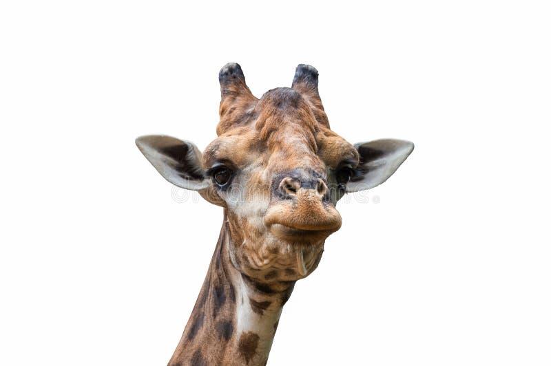 Kopf der Giraffe lizenzfreies stockfoto