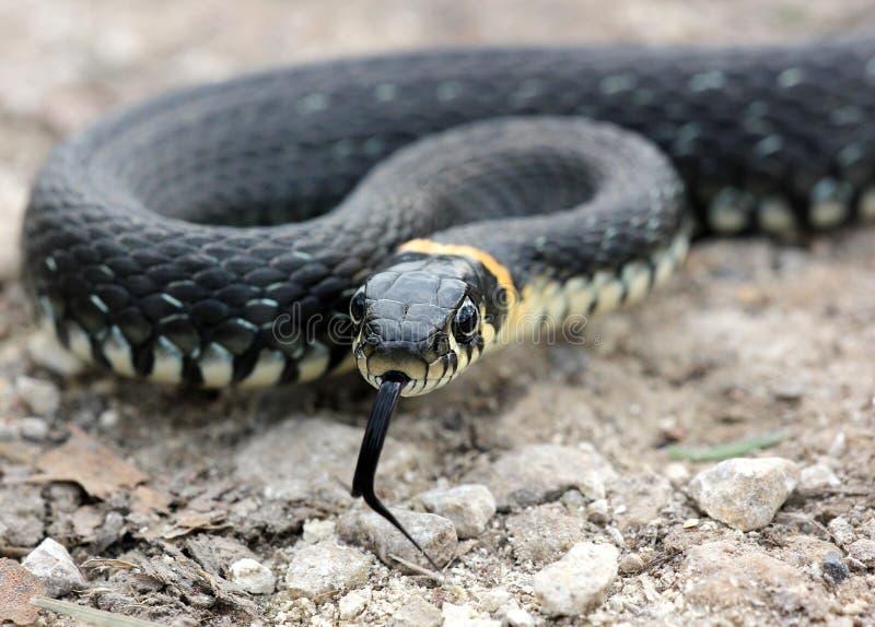 Kopf der Grasschlange mit seiner Zunge, die auf grou heraus kriechen hängt stockfotografie