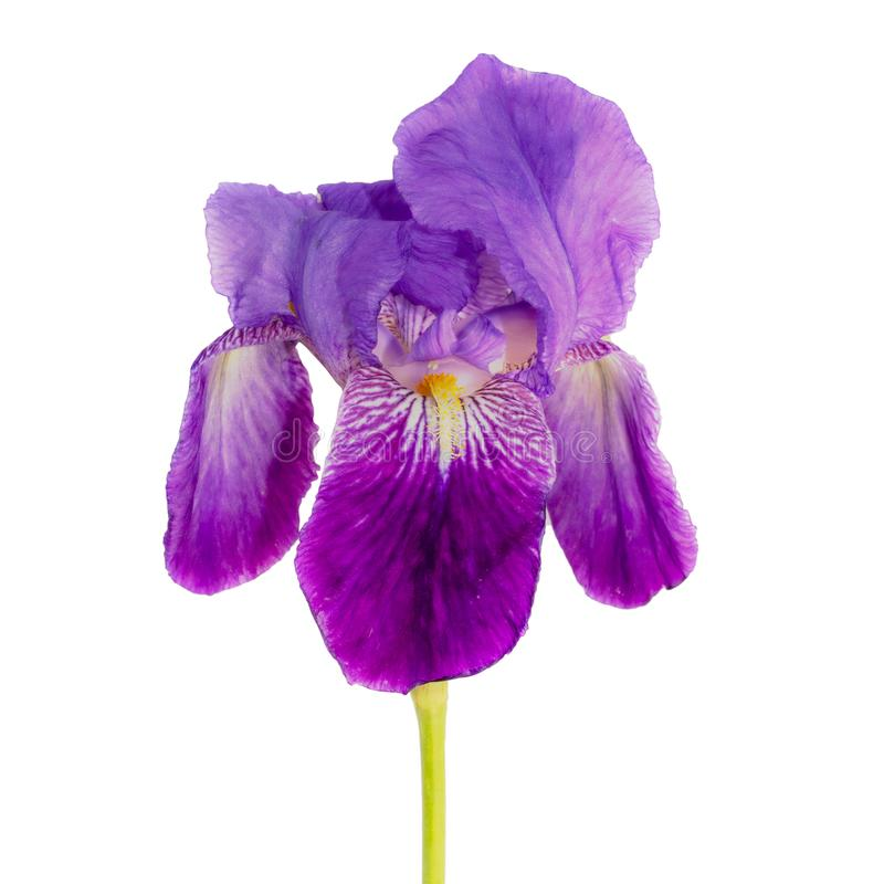 Kopf der Irisblume auf wei?em Hintergrund lizenzfreies stockbild