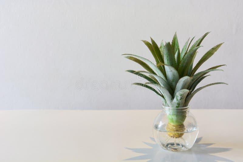 Kopf der Mini- oder zwergartigen Ananasbromelie im transparenten Vase auf dem Tisch für Dekoration, weißer Hintergrund lizenzfreies stockbild