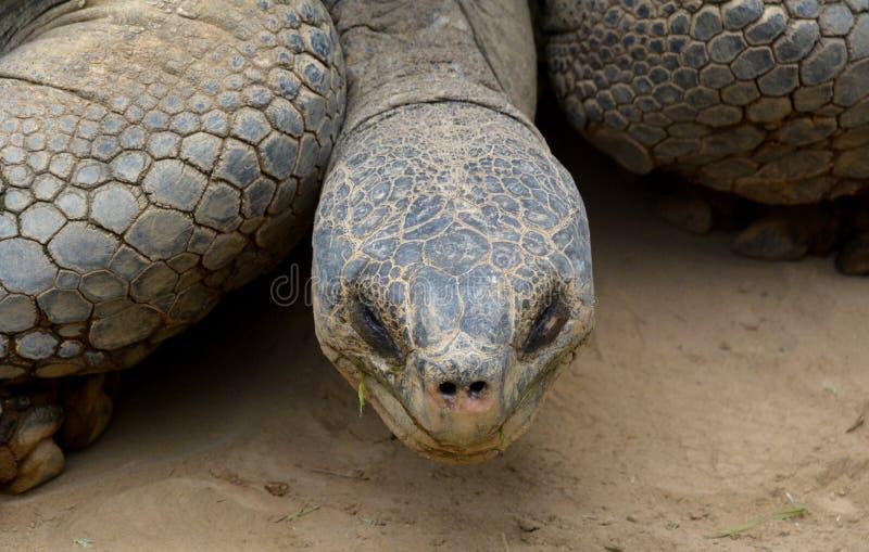 Kopf der riesigen Schildkröte lizenzfreies stockfoto