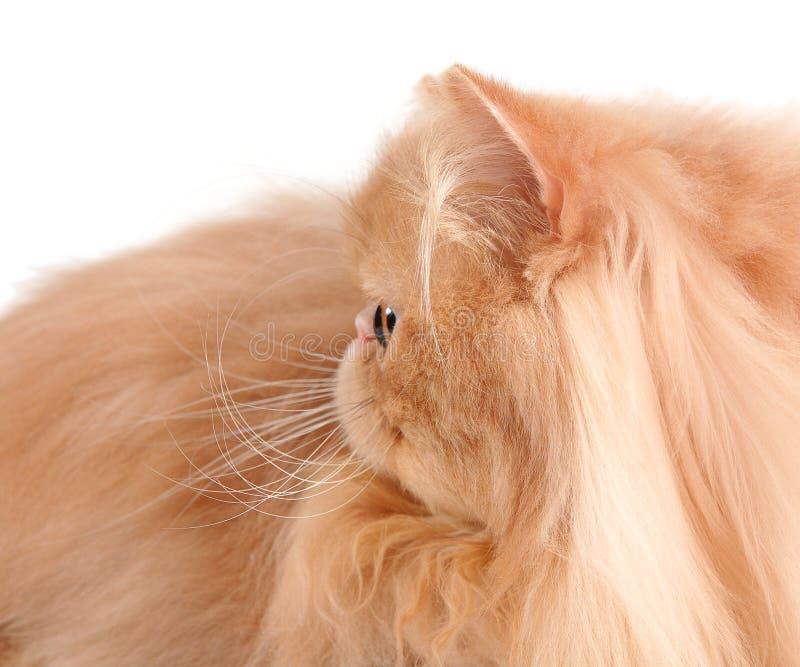 Kopf der roten persischen Katze lizenzfreie stockfotografie