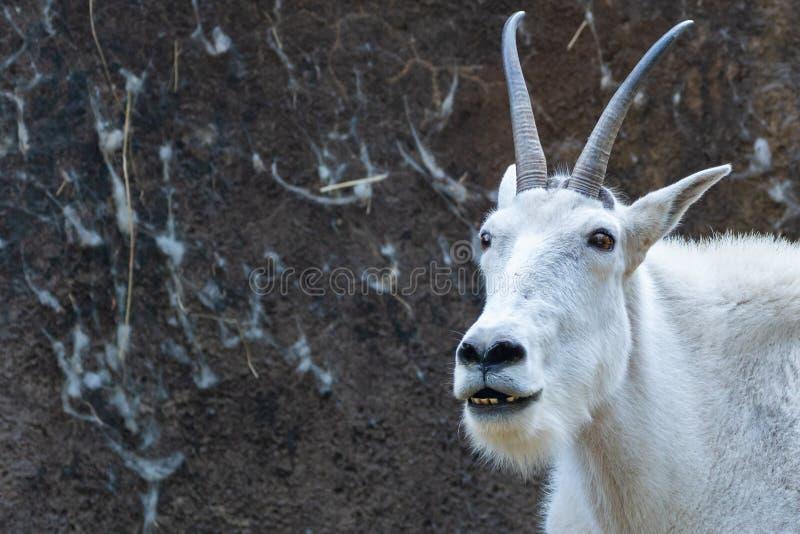 Kopf der weißen Ziege lizenzfreies stockfoto