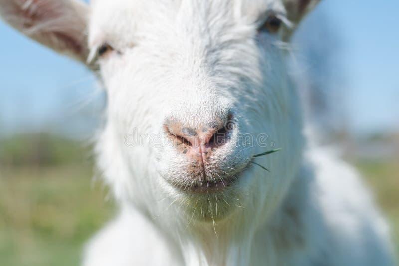 Kopf der weißen Ziege auf einem Hintergrund der Nahaufnahme des blauen Himmels lizenzfreie stockbilder