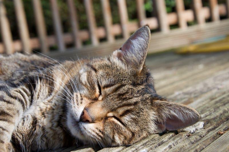 Kopf der weiblichen inländischen Haustierkatze, die in der Sonne auf hölzernem Decking im Freien, entspannende Augen liegt, schlo stockfoto