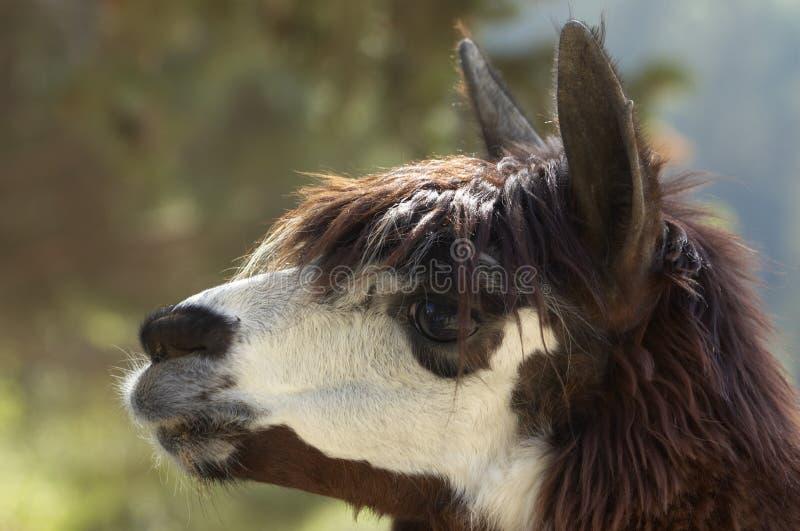 Kopf des Alpakas (Lama pacos) lizenzfreies stockbild