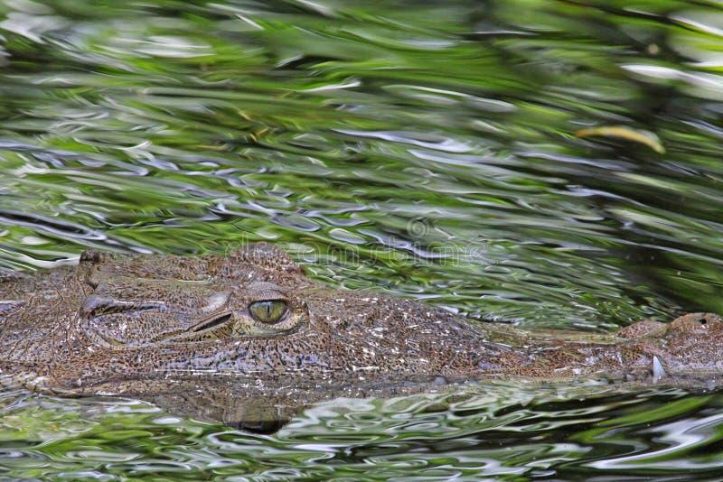 Kopf des amerikanischen Krokodils im Profil stockbilder