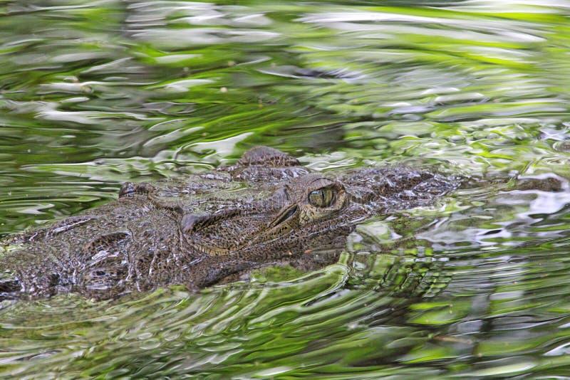 Kopf des amerikanischen Krokodils im Wasser stockbilder