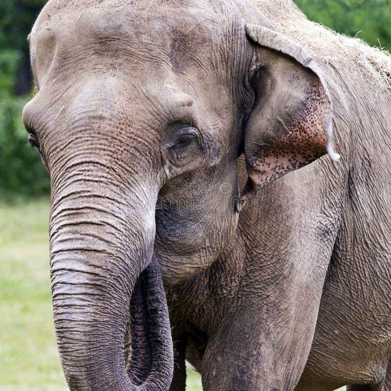 Download Kopf Des Asiatischen Oder Asiatischen Elefanten Des Elefanten Stockfoto - Bild von kopf, nahaufnahme: 96934012