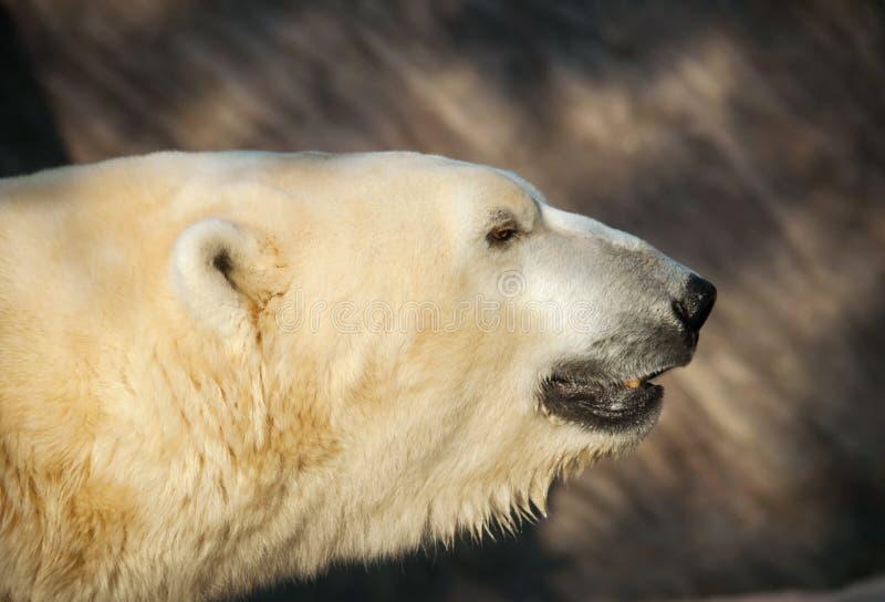 Kopf des Eisbären - Ursus maritimus stockfoto