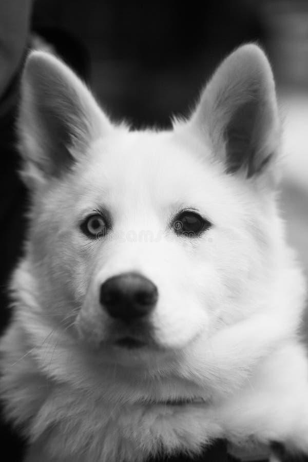 Kopf des großen weißen Hundes mit den braunen und blauen Augen stockbild