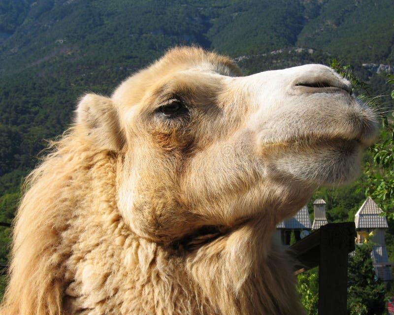 Kopf des Kamels stockbild