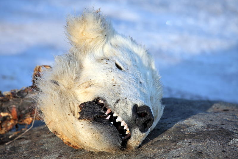 Kopf des toten Eisbären stockbild