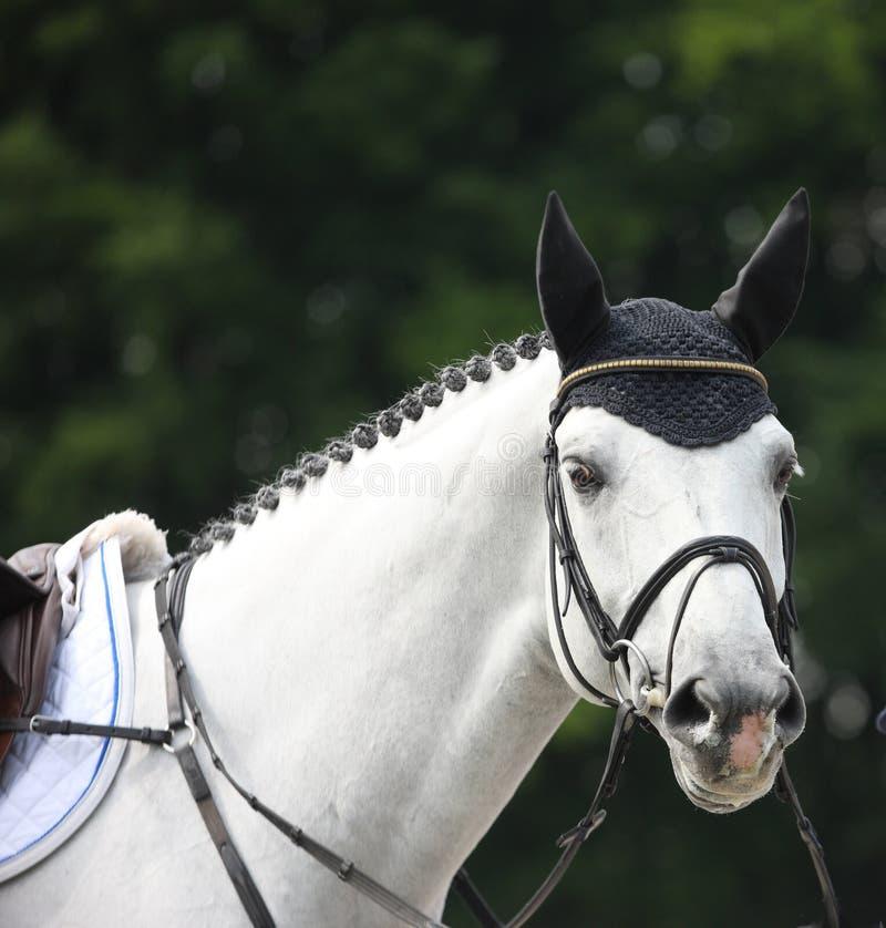 Kopf des weißen Pferds im Freiengelderland 2012 stockfotografie