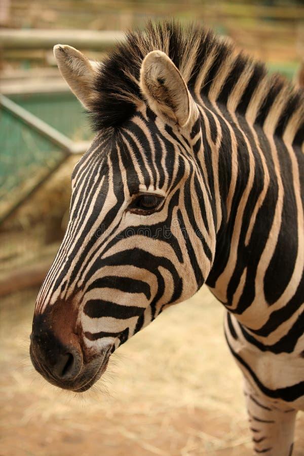 Kopf des Zebras stockfotos