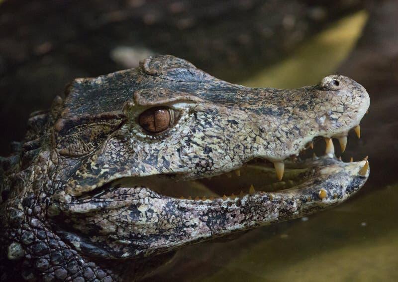 Kopf eines Alligators, der Feinde sucht stockfotos
