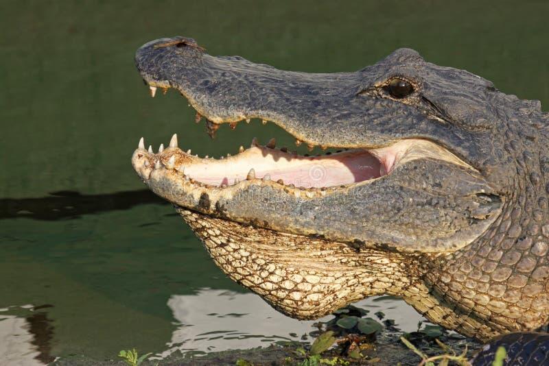 Kopf eines amerikanischen Krokodils lizenzfreie stockfotografie