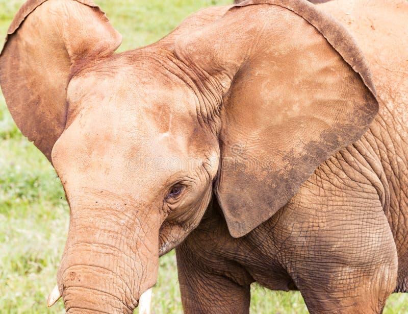 Kopf eines Elefantabschlusses oben stockfotos