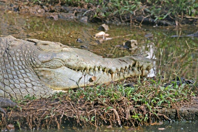 Kopf eines Krokodils stockbild