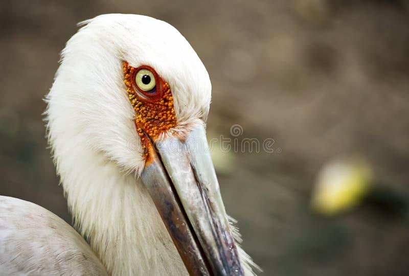 Kopf eines maguari Storchs lizenzfreie stockfotos