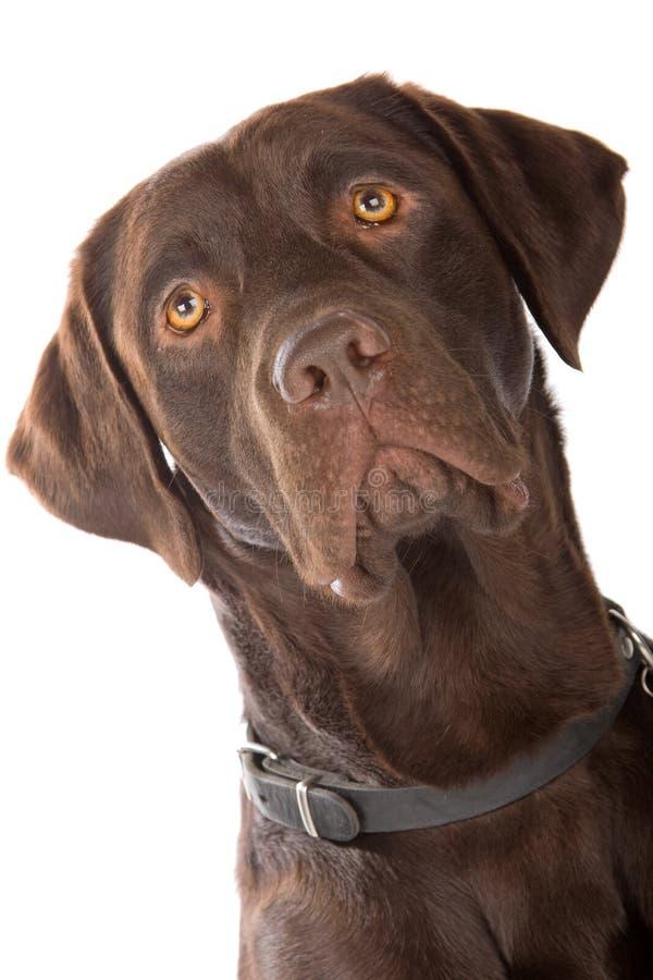 Kopf eines Mischbruthundes (Labrador-Apportierhund) stockfotografie