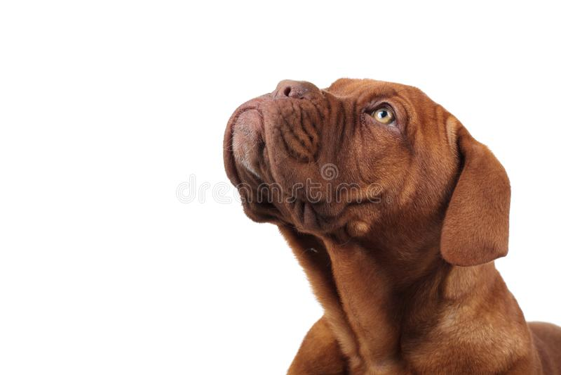 Kopf eines netten französischen Mastiffs, der oben schaut lizenzfreies stockbild