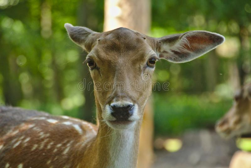 Head of a deer stock image