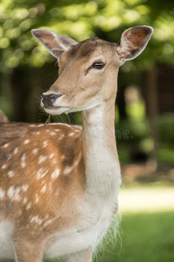 A deer looks ahead stock photo