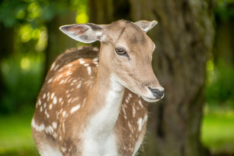 A deer looks ahead royalty free stock images
