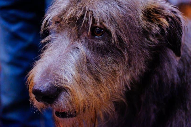 Kopf eines schönen Hundes des irischen Wolfshunds stockbild