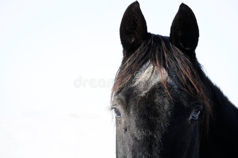 Kopf eines schwarzen Pferds stockfotografie