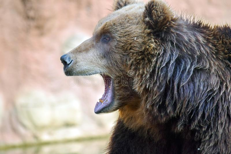 Kopf-Nahaufnahme-Porträt Braunbär Ursus Arctos Beringianus stockfoto