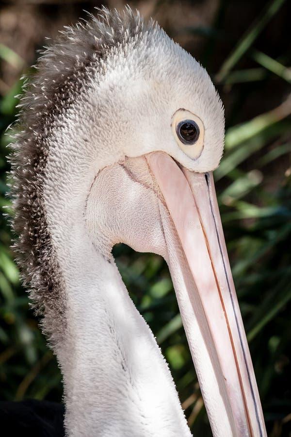 Kopf und Bill des australischen Pelikans flaumige Federn zeigend lizenzfreies stockfoto