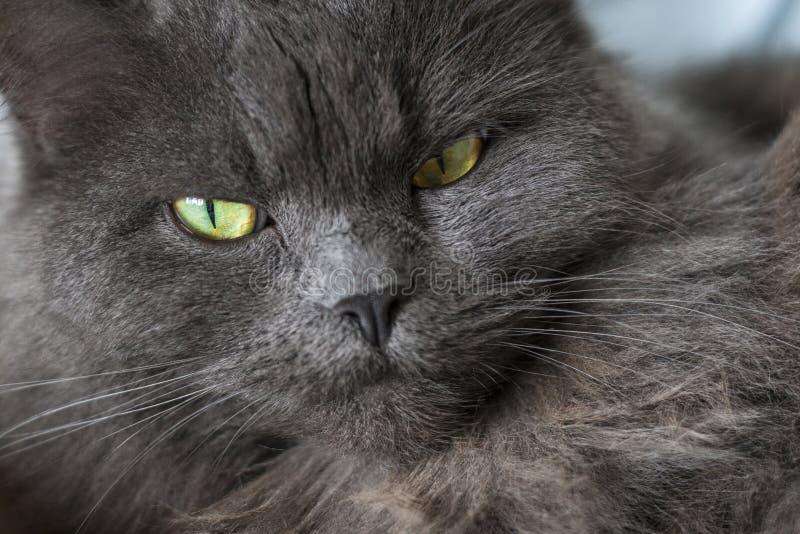 Kopf und Gesicht der Katze stockfoto