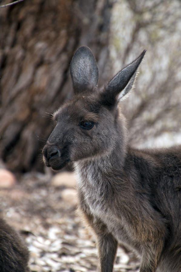 Kopf und Gesicht des erwachsenen Kängurus lizenzfreies stockfoto