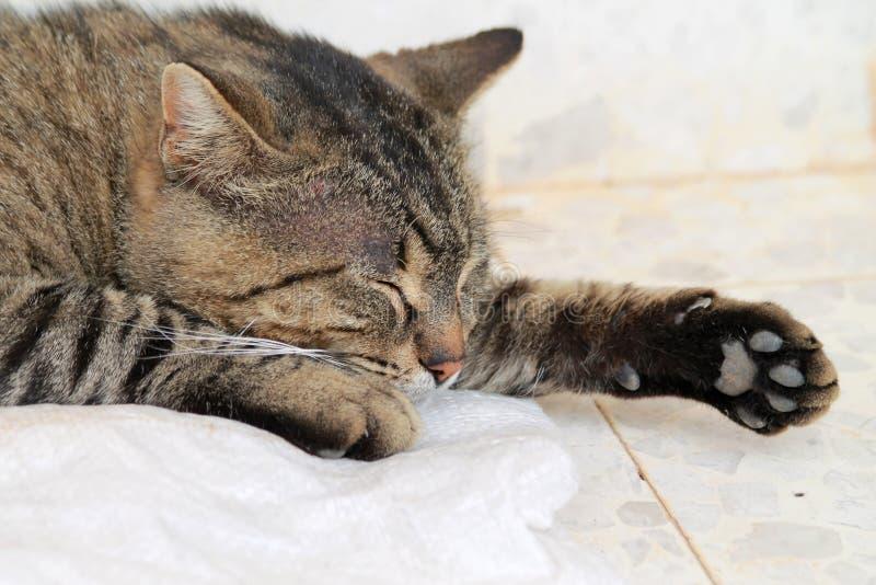 Kopf und Tatzen einer Katze der getigerten Katze stockbild