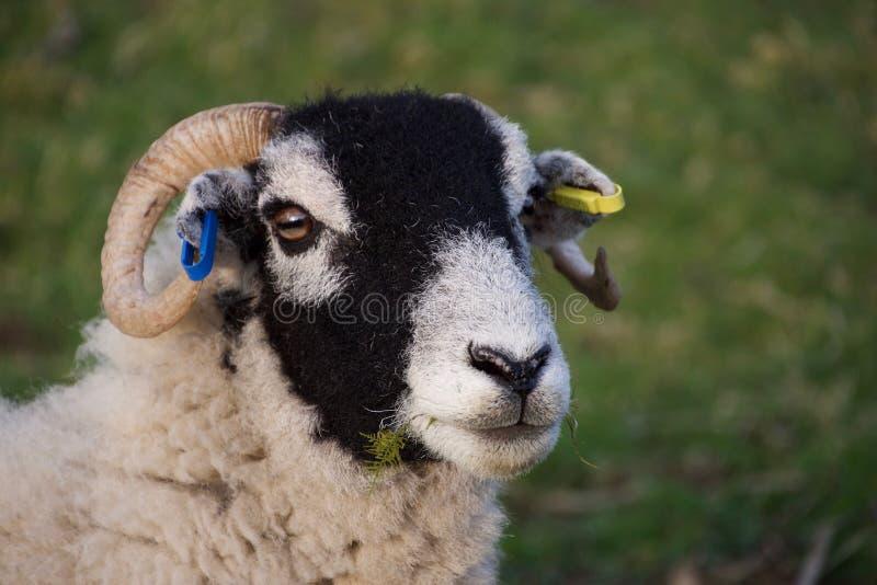 Kopf von schwarzen gegenübergestellten Schafen, Gras essend lizenzfreies stockfoto